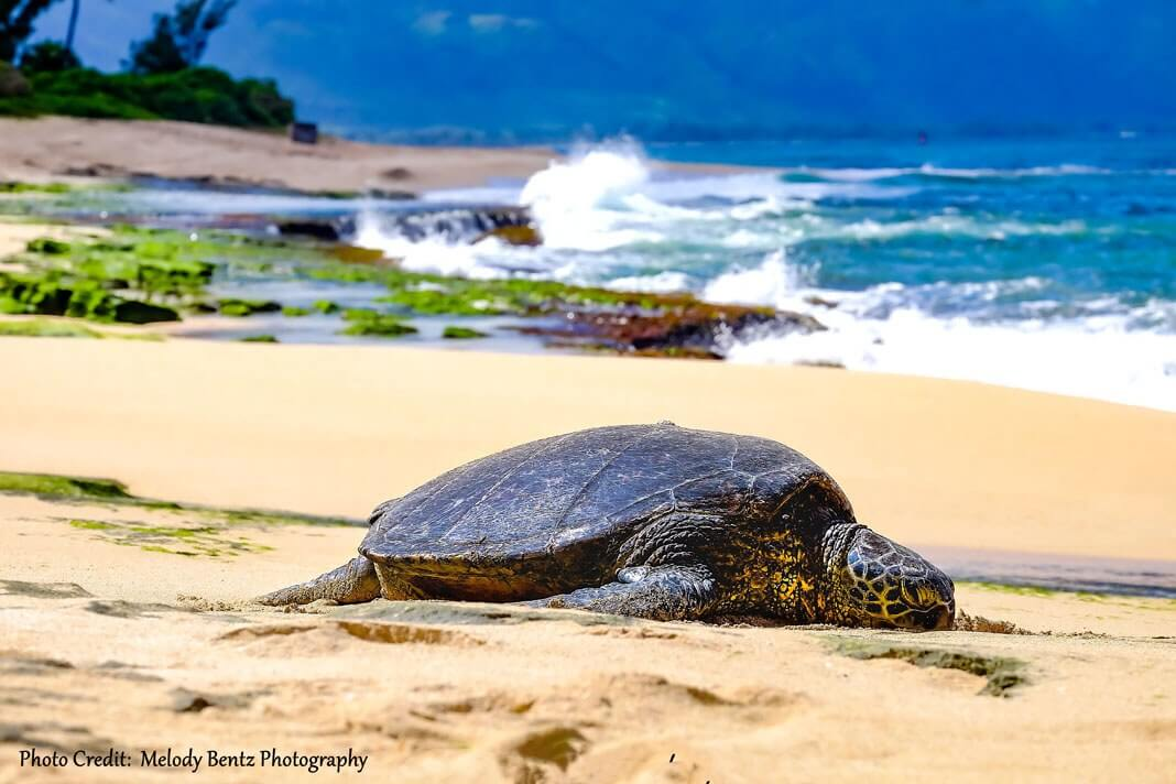 Photo: Endangered Sea Turtle